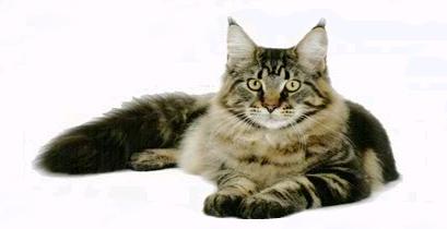 Gatos de Raça