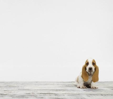 Basset Hound Puppy de Sharon Montrose