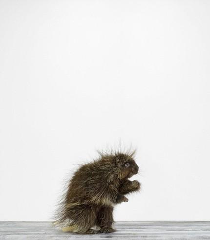 Porcupine de Sharon Montrose